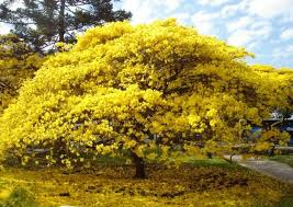 Ip�   Amarelo